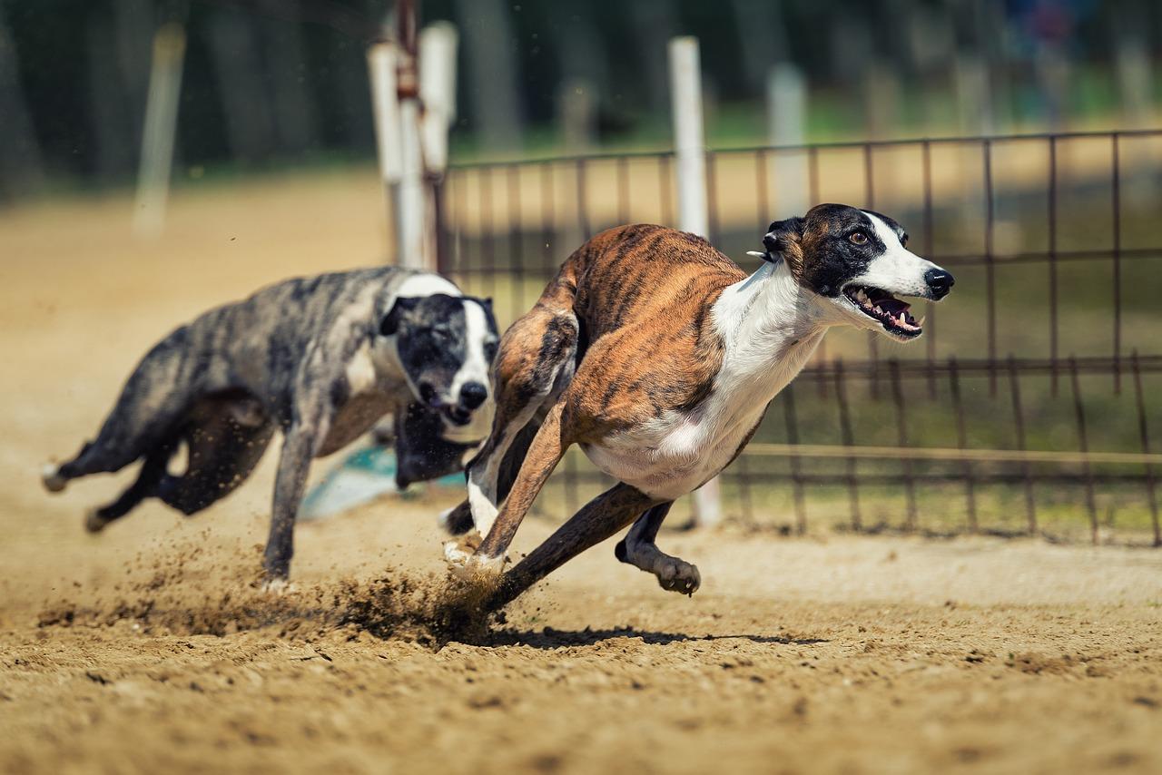 dog-racing-2878713_1280